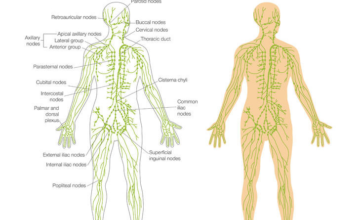 lymph system aids the body in eliminating toxins